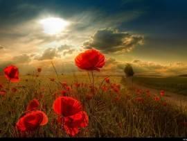 poppy sunlight